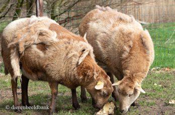Zelfruiende Nolana's. een schaap met vele voordelen