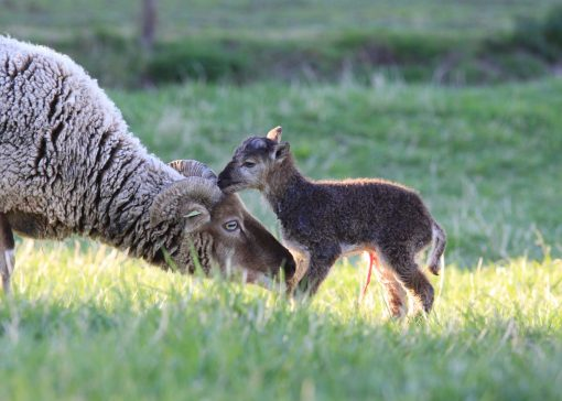 Historische schapen in de Ooijpolder