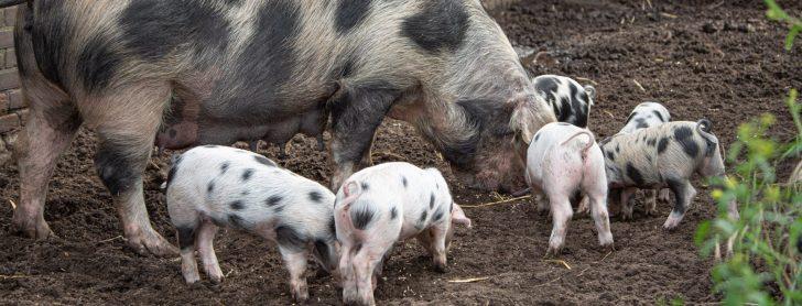 Lees mee met Boerenvee, hét tijdschrift voor liefhebbers van boerderij- en andere hobbydieren