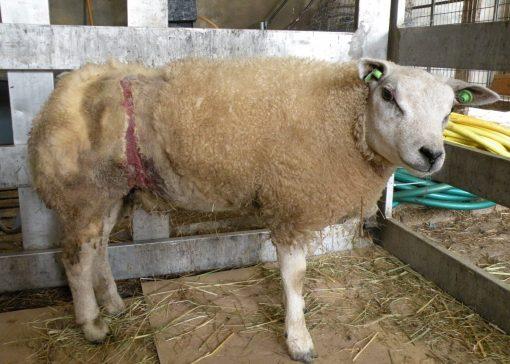 Zorg voor schapen met maden