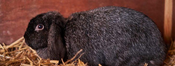 De Kunder: hangoorkonijn met een zilveren gloed