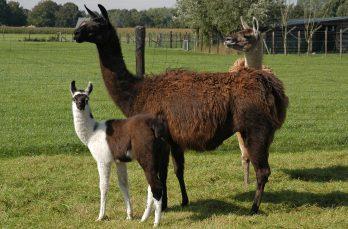 Lama's en hun indrukwekkende geheugen