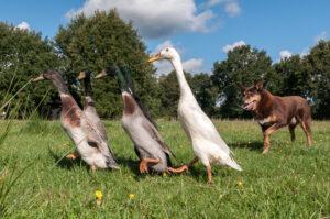 loopeenden drijven met hond