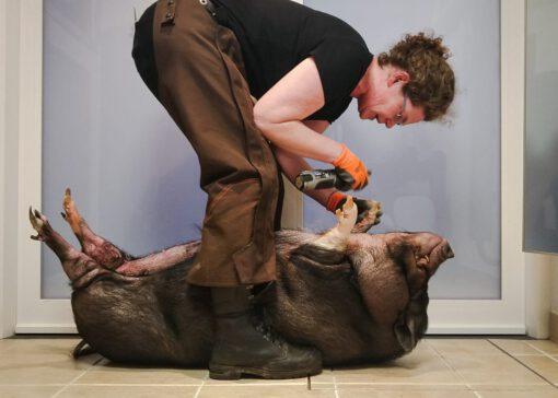 Klauwverzorging minivarkens: nieuwe methode