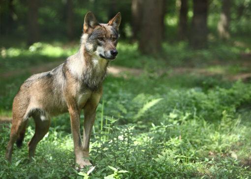 Conflictarm samenleven met wolven in Nederland, kan dat?