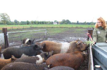 Lokale reststromen: varkens van boerin Inge smullen ervan
