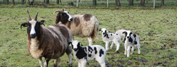 Jacobschapen en Racka's: schapen met gigantische hoorns