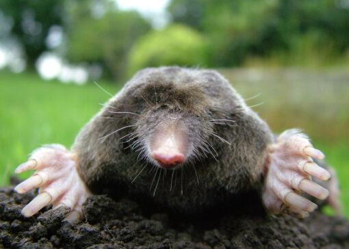 Help, een mol in de wei