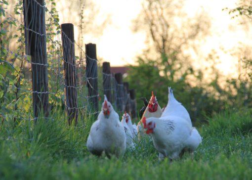 De Sussex kip: de ideale kip voor de beginner