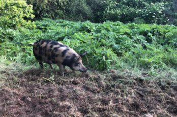 Varkens als bestrijders van berenklauw en duizendknoop