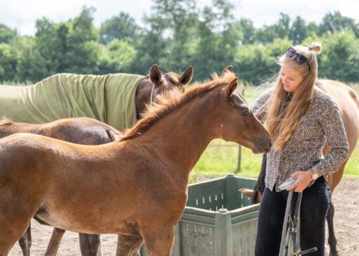 Gelders paard terug in de spotlights